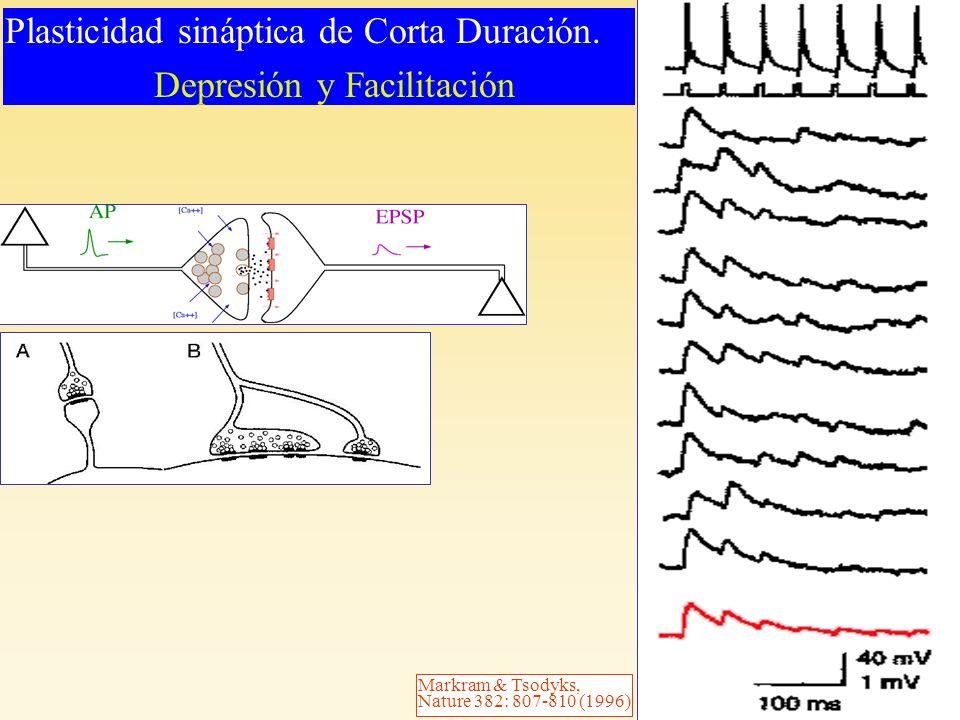 Markram & Tsodyks, Nature 382: 807-810 (1996) Plasticidad sináptica de Corta Duración. Depresión y Facilitación Plasticidad sináptica de Corta Duració