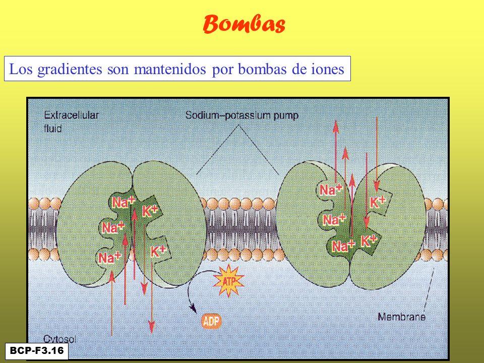 Bombas BCP-F3.16 Los gradientes son mantenidos por bombas de iones