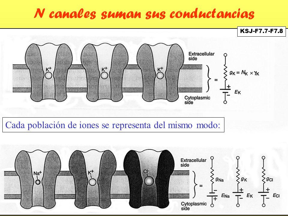 N canales suman sus conductancias Cada población de iones se representa del mismo modo: KSJ-F7.7-F7.8