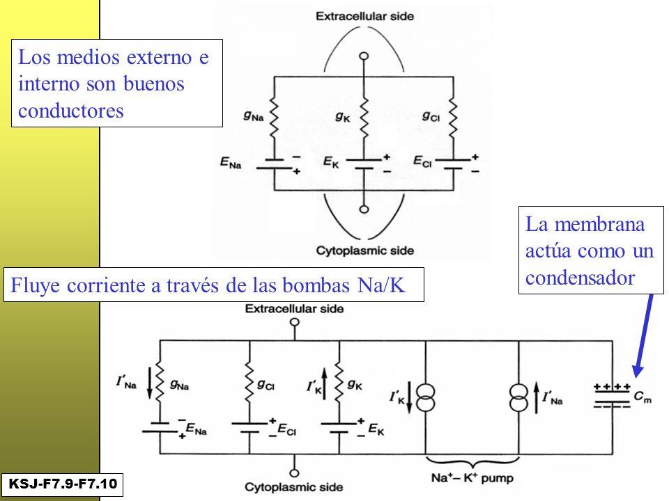 Un primer circuito... Los medios externo e interno son buenos conductores Fluye corriente a través de las bombas Na/K La membrana actúa como un conden