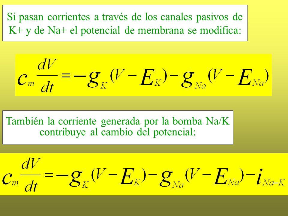 También la corriente generada por la bomba Na/K contribuye al cambio del potencial: Si pasan corrientes a través de los canales pasivos de K+ y de Na+
