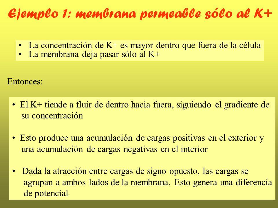 Ejemplo 1: membrana permeable sólo al K+ La concentración de K+ es mayor dentro que fuera de la célula La membrana deja pasar sólo al K+ Entonces: El
