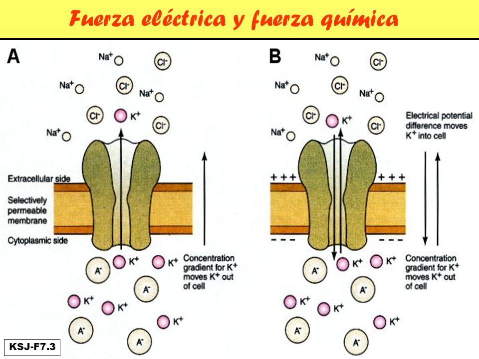 Potencial de Equilibrio Se llega a una situación en la cual el potencial de membrana toma Un valor tal que la fuerza eléctrica que actúa sobrel el K+ iguala a la fuerza química y no hay más flujo neto de este ión.