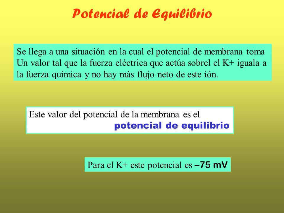 Potencial de Equilibrio Se llega a una situación en la cual el potencial de membrana toma Un valor tal que la fuerza eléctrica que actúa sobrel el K+