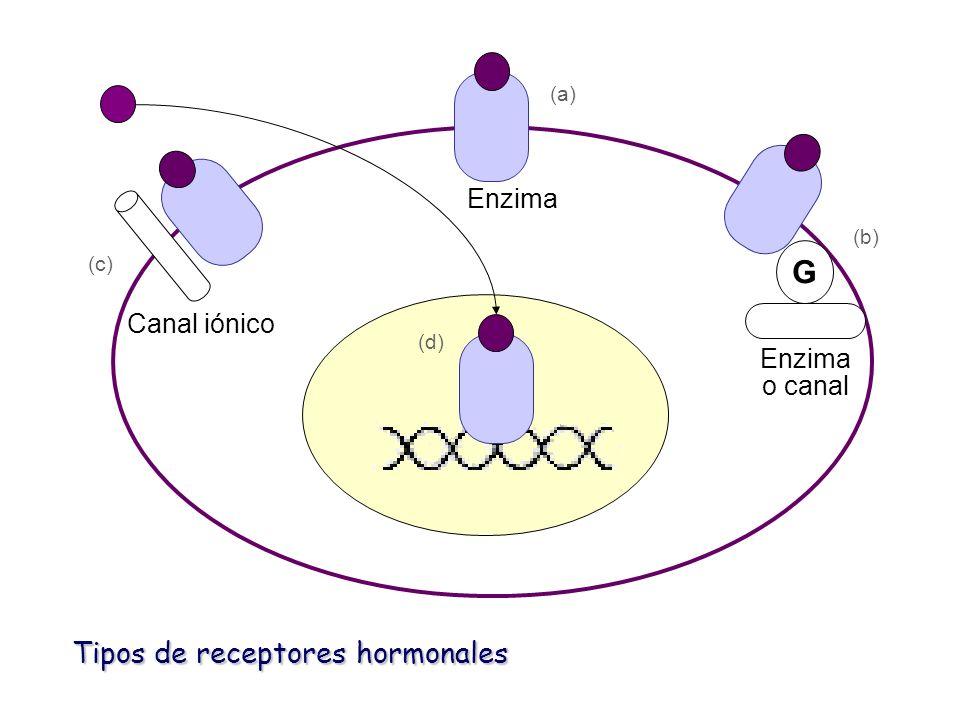 G Enzima Canal iónico Enzima o canal Tipos de receptores hormonales (a) (b) (c) (d)