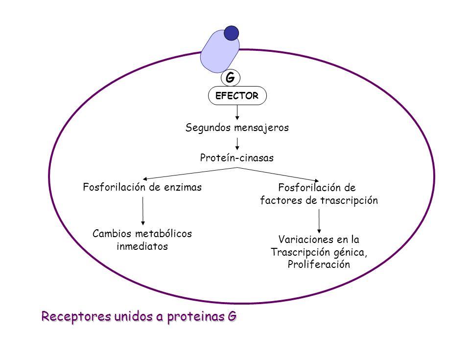 G EFECTOR Segundos mensajeros Proteín-cinasas Fosforilación de enzimas Fosforilación de factores de trascripción Cambios metabólicos inmediatos Variac