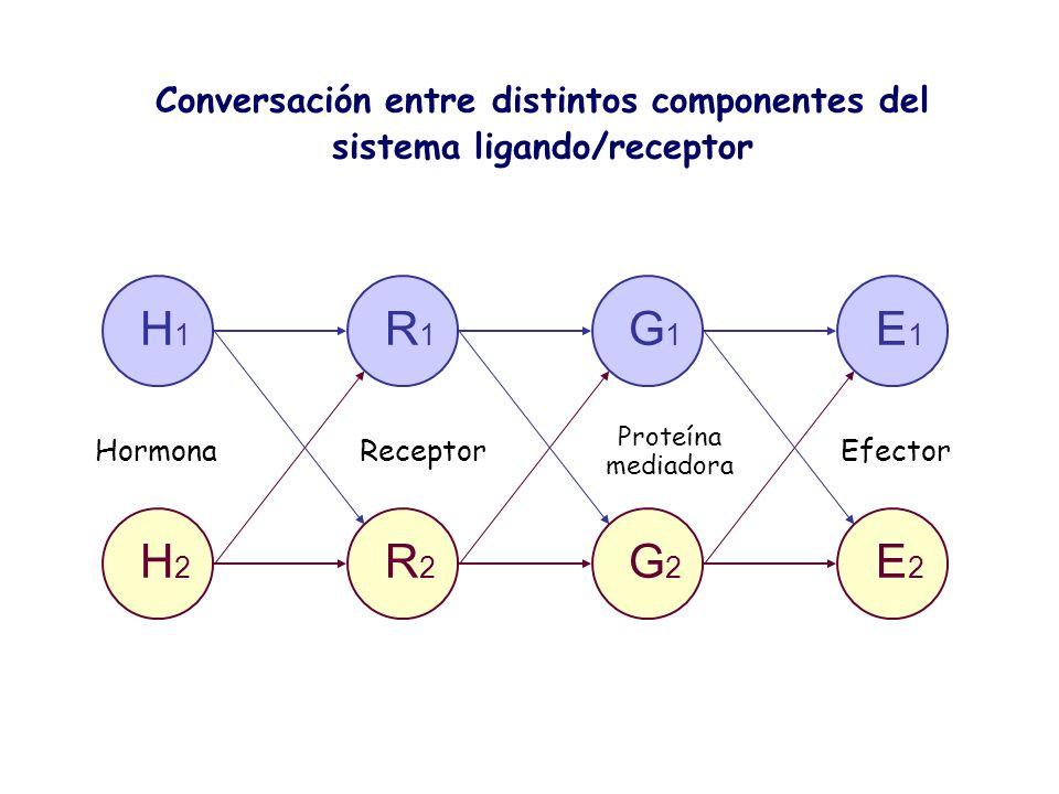 H 1 R 1 G 1 E 1 H 2 R 2 G 2 E 2 HormonaReceptor Proteína mediadora Efector Conversación entre distintos componentes del sistema ligando/receptor