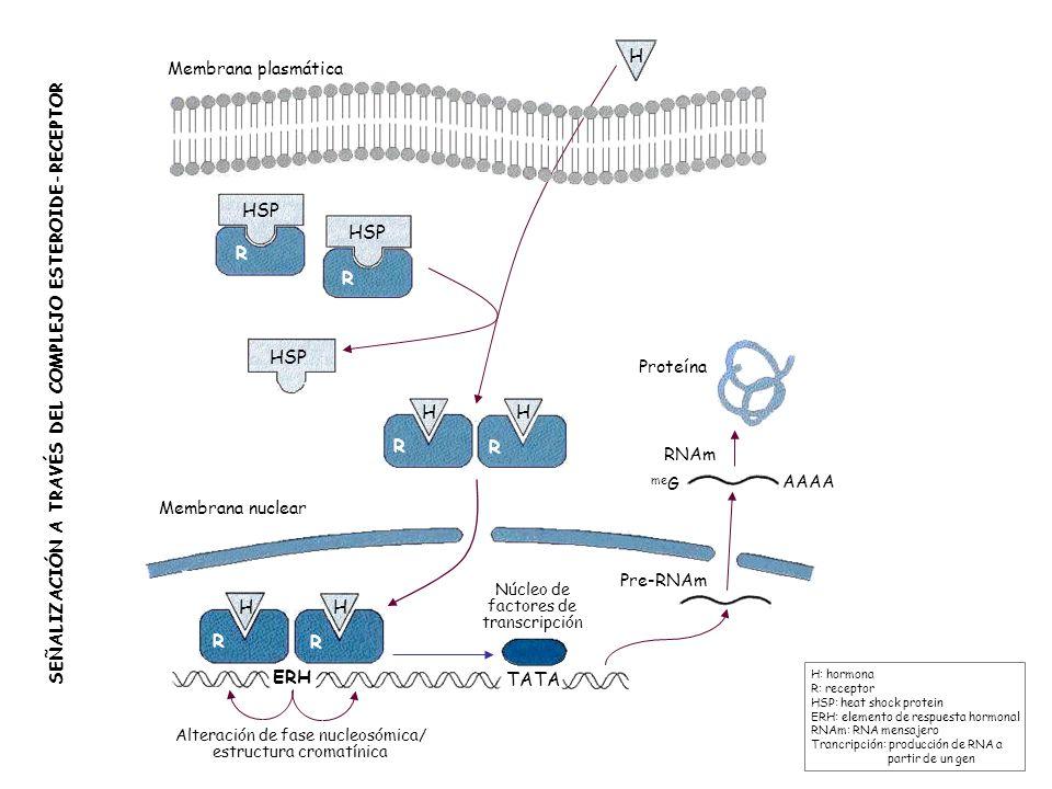 HSP R R Membrana plasmática Membrana nuclear ERH TATA HH R R H HH R R HSP SEÑALIZACIÓN A TRAVÉS DEL COMPLEJO ESTEROIDE-RECEPTOR H: hormona R: receptor
