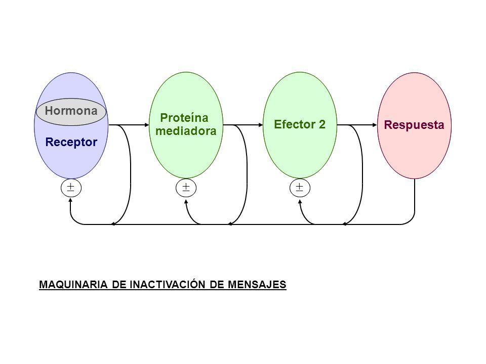 MAQUINARIA DE INACTIVACIÓN DE MENSAJES Respuesta Proteína mediadora Efector 2 Receptor Hormona Respuesta Efector 2 Receptor Hormona