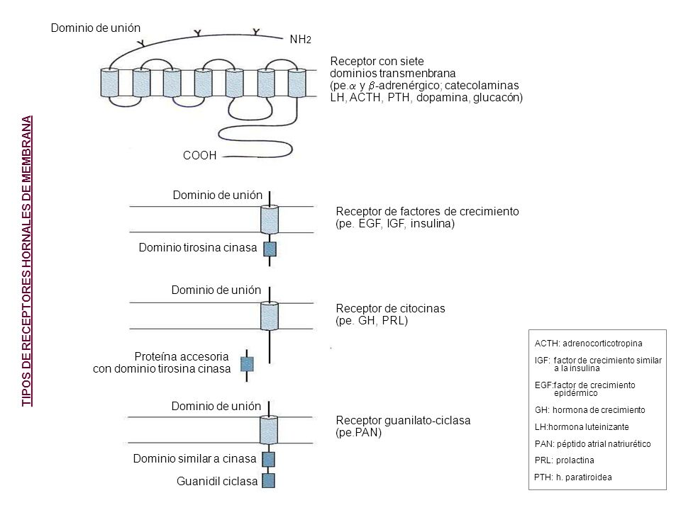Dominio de unión COOH NH 2 Dominio de unión Dominio tirosina cinasa Proteína accesoria con dominio tirosina cinasa Guanidil ciclasa Dominio similar a