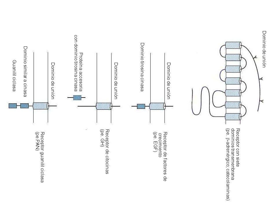 Receptor con siete dominios transmenbrana (pe. -adrenérgico; catecolaminas) Receptor de factores de crecimiento (pe. EGF) Receptor de citocinas (pe. G