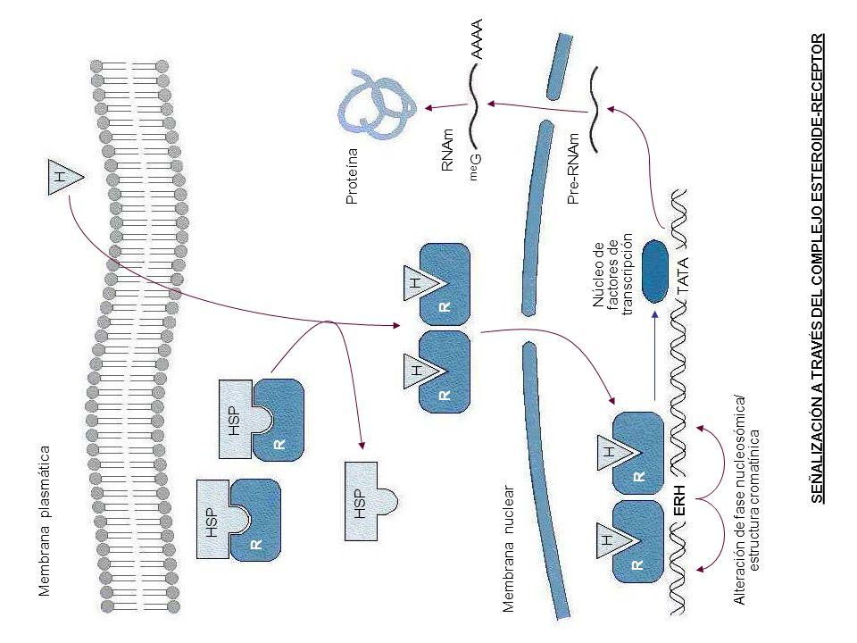 H H H H H HSP R R R R R R Membrana plasmática Membrana nuclear Proteína RNAm me G AAAA Pre-RNAm TATA ERH Corazón de factores de transcripción Alteraci