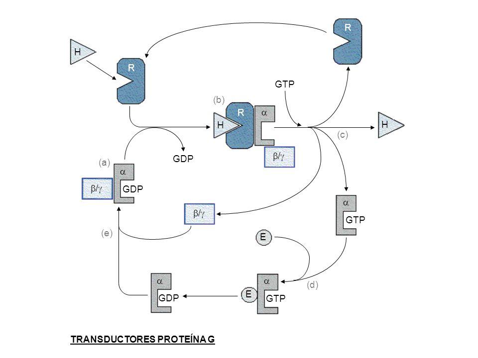 H H H R R R / / / E E GDP GTP GDP GTP TRANSDUCTORES PROTEÍNA G (a) (b) (c) (d) (e)