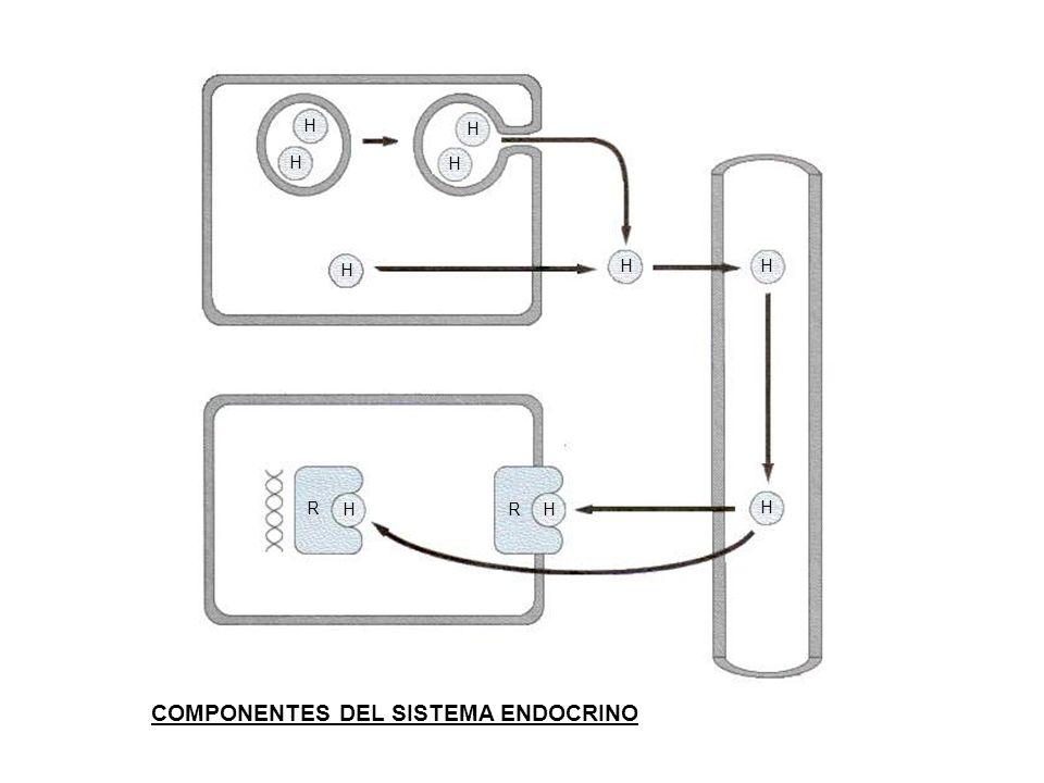 H H H H H HH H HH R R COMPONENTES DEL SISTEMA ENDOCRINO