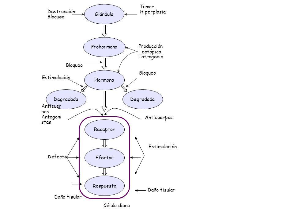 Degradada Prohormona Glándula Hormona ReceptorEfectorRespuesta Destrucción Bloqueo Tumor Hiperplasia Producción ectópica Iatrogenia Bloqueo Estimulaci