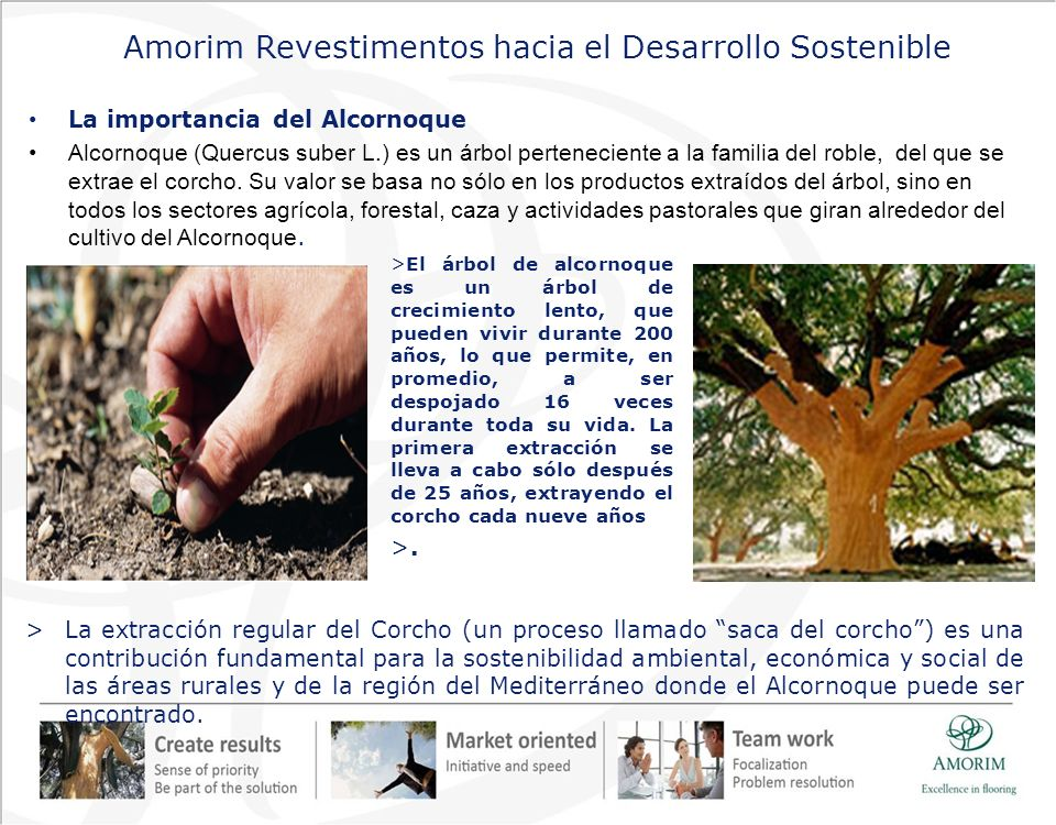 Amorim Revestimentos hacia el Desarrollo Sostenible La importancia del Alcornoque Alcornoque (Quercus suber L.) es un árbol perteneciente a la familia