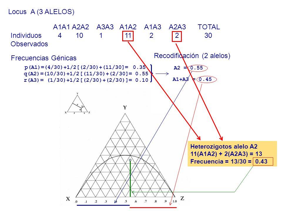 Locus A (3 ALELOS) A1A1 A2A2 A3A3 A1A2 A1A3 A2A3 TOTAL Individuos 4 10 1 11 2 2 30 Observados Frecuencias Génicas p(A1)=(4/30)+1/2[(2/30)+(11/30]= 0.3