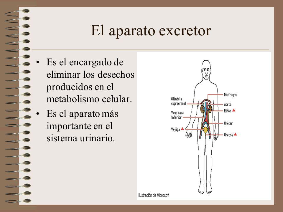 El aparato excretor Es el encargado de eliminar los desechos producidos en el metabolismo celular. Es el aparato más importante en el sistema urinario