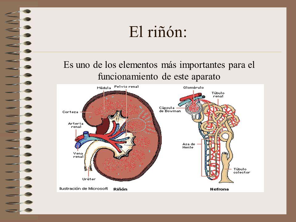 El riñón: Es uno de los elementos más importantes para el funcionamiento de este aparato