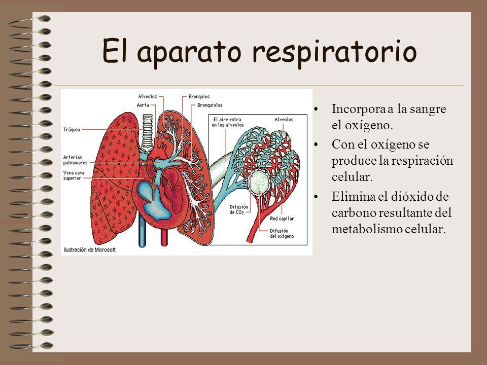 El aparato respiratorio Incorpora a la sangre el oxígeno. Con el oxígeno se produce la respiración celular. Elimina el dióxido de carbono resultante d