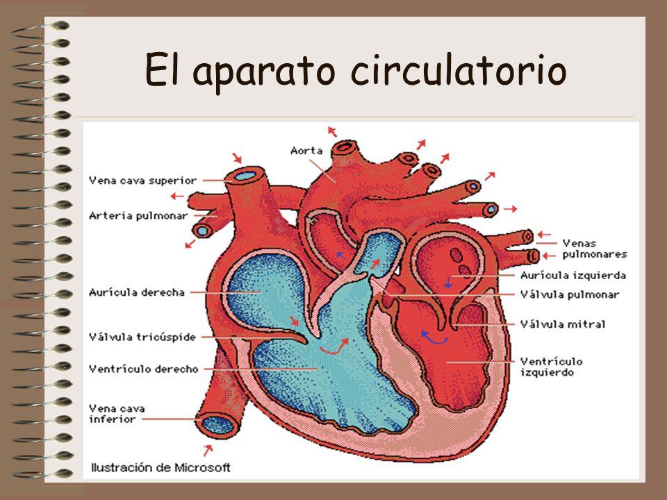 El corazón es una bomba doble, en el que la sangre circula por dos sistemas cerrados y separados.