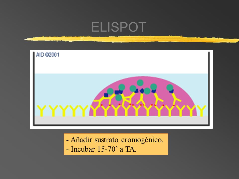 ELISPOT - Añadir sustrato cromogénico. - Incubar 15-70 a TA.