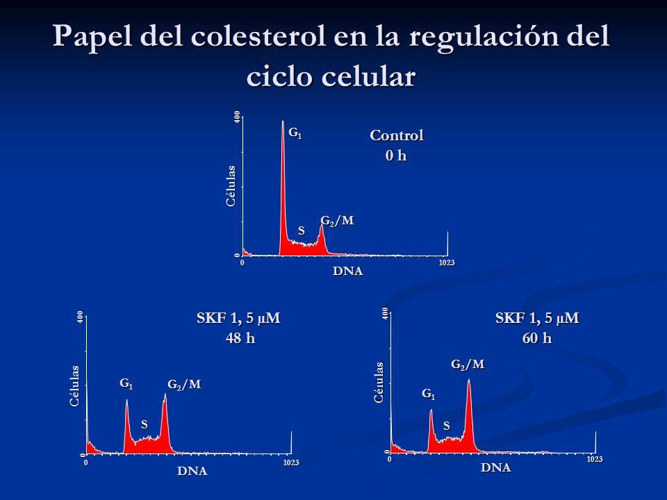 Papel del colesterol en la regulación del ciclo celular 01023 DNA 0 400 Células G1G1G1G1 G 2 /M S Control 0 h 01023 DNA 0 400 Células G1G1G1G1 G 2 /M S 01023 DNA 0 400 Células G1G1G1G1 S SKF 1, 5 µM 48 h SKF 1, 5 µM 60 h