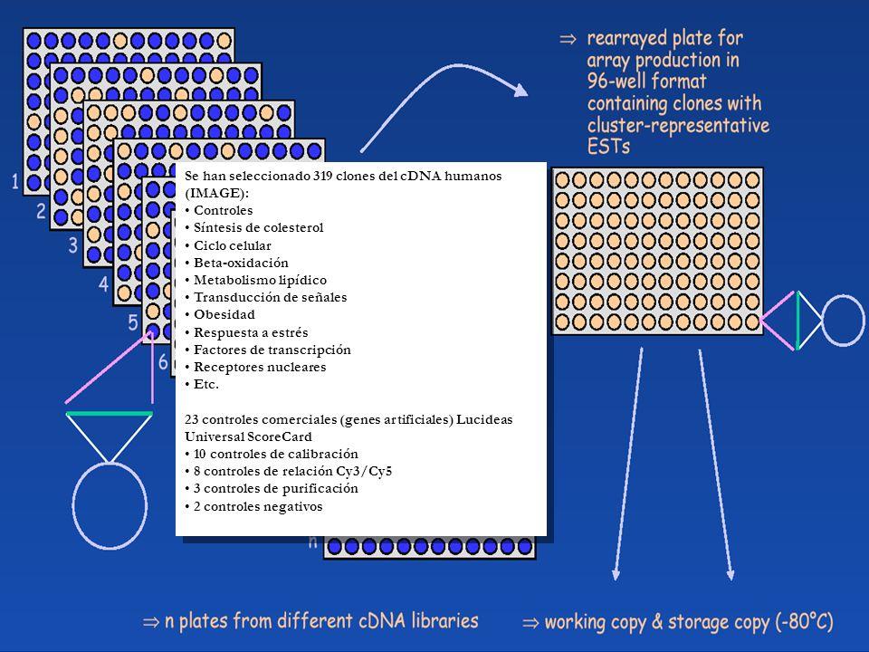 Se han seleccionado 319 clones del cDNA humanos (IMAGE): Controles Síntesis de colesterol Ciclo celular Beta-oxidación Metabolismo lipídico Transducción de señales Obesidad Respuesta a estrés Factores de transcripción Receptores nucleares Etc.