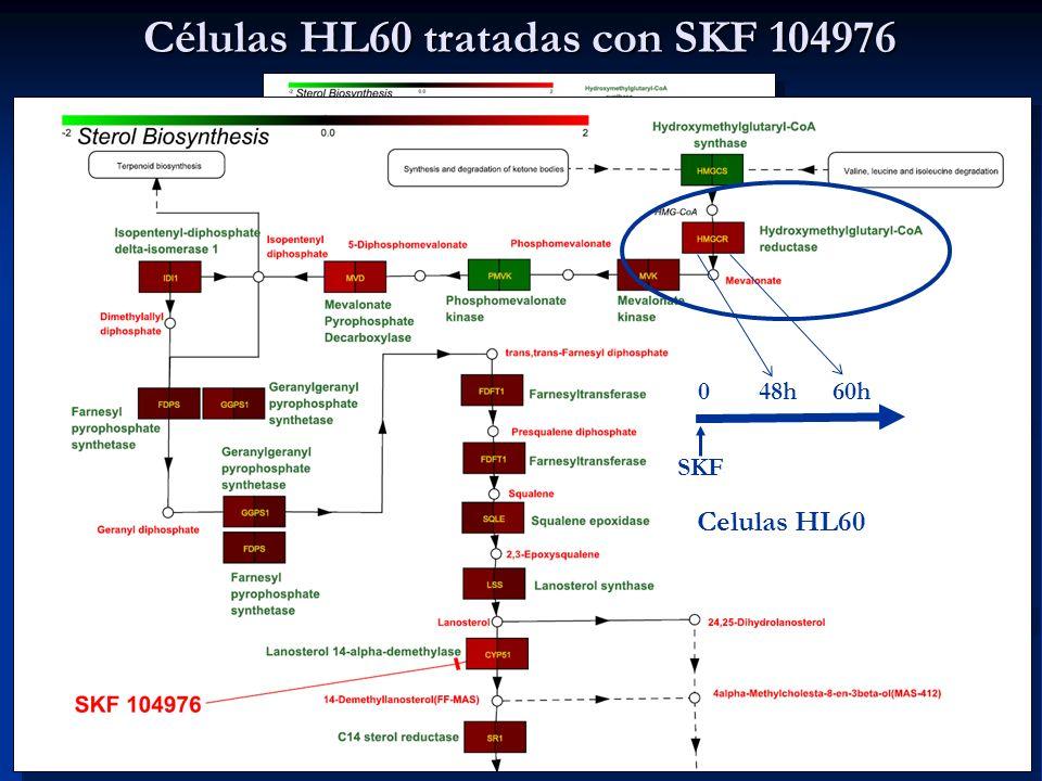 Grafico realizado con PathwayEditor ( © Elmar Trost & Bernhard Mecnik) basandose en KEGG PATHWAY Database (http://www.genome.ad.jp/kegg/pathway.html) 60h048h SKF Celulas HL60 Células HL60 tratadas con SKF 104976