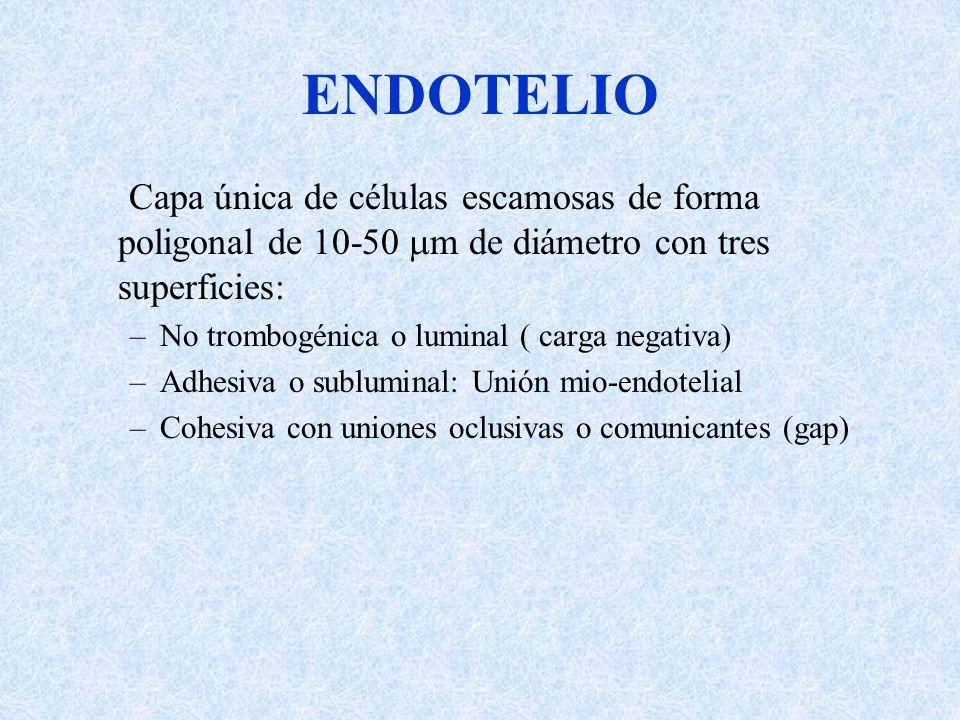ENDOTELIO Capa única de células escamosas de forma poligonal de 10-50 m de diámetro con tres superficies: –No trombogénica o luminal ( carga negativa)