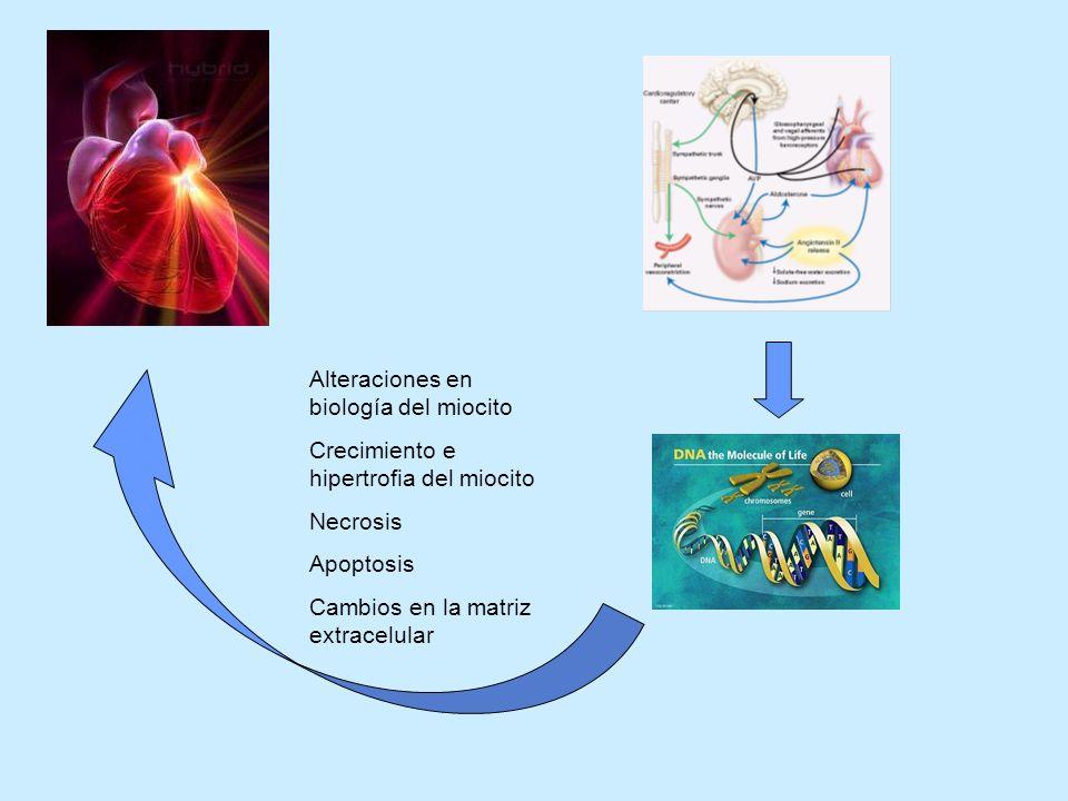 Alteraciones en biología del miocito Crecimiento e hipertrofia del miocito Necrosis Apoptosis Cambios en la matriz extracelular