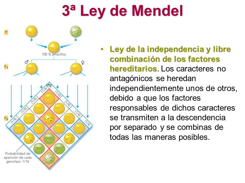 3ª Ley de Mendel Ley de la independencia y libre combinación de los factores hereditariosLey de la independencia y libre combinación de los factores h