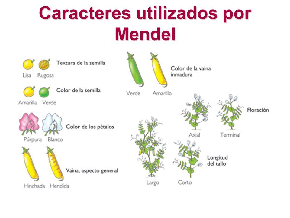 Caracteres utilizados por Mendel