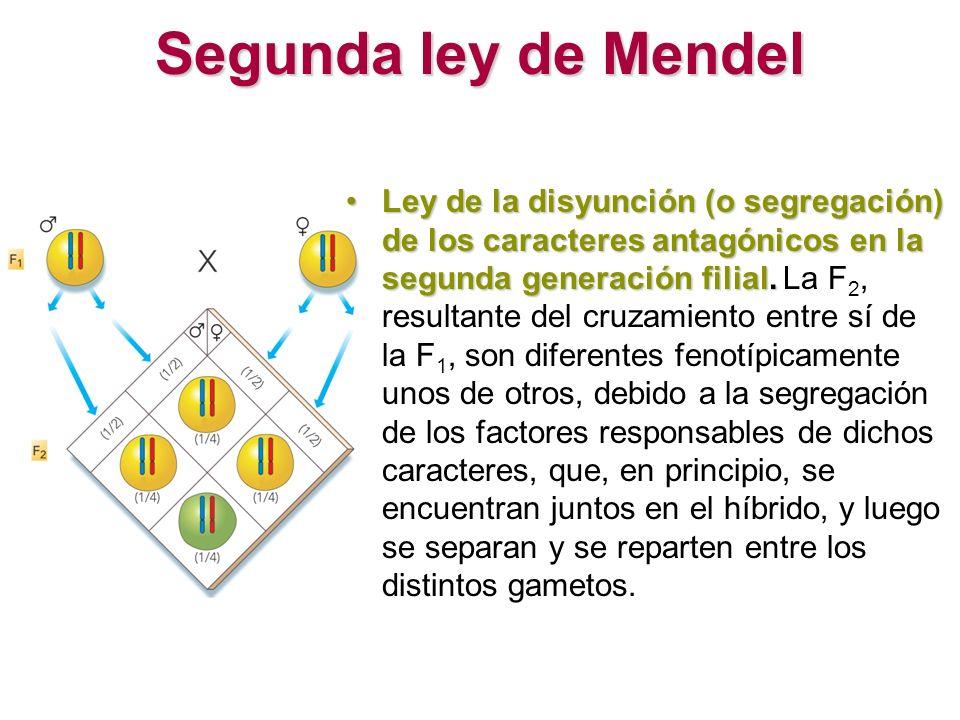 Segunda ley de Mendel Ley de la disyunción (o segregación) de los caracteres antagónicos en la segunda generación filial.Ley de la disyunción (o segre