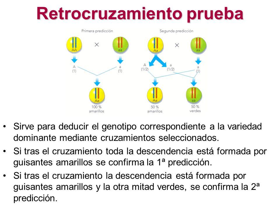 Retrocruzamiento prueba Sirve para deducir el genotipo correspondiente a la variedad dominante mediante cruzamientos seleccionados. Si tras el cruzami