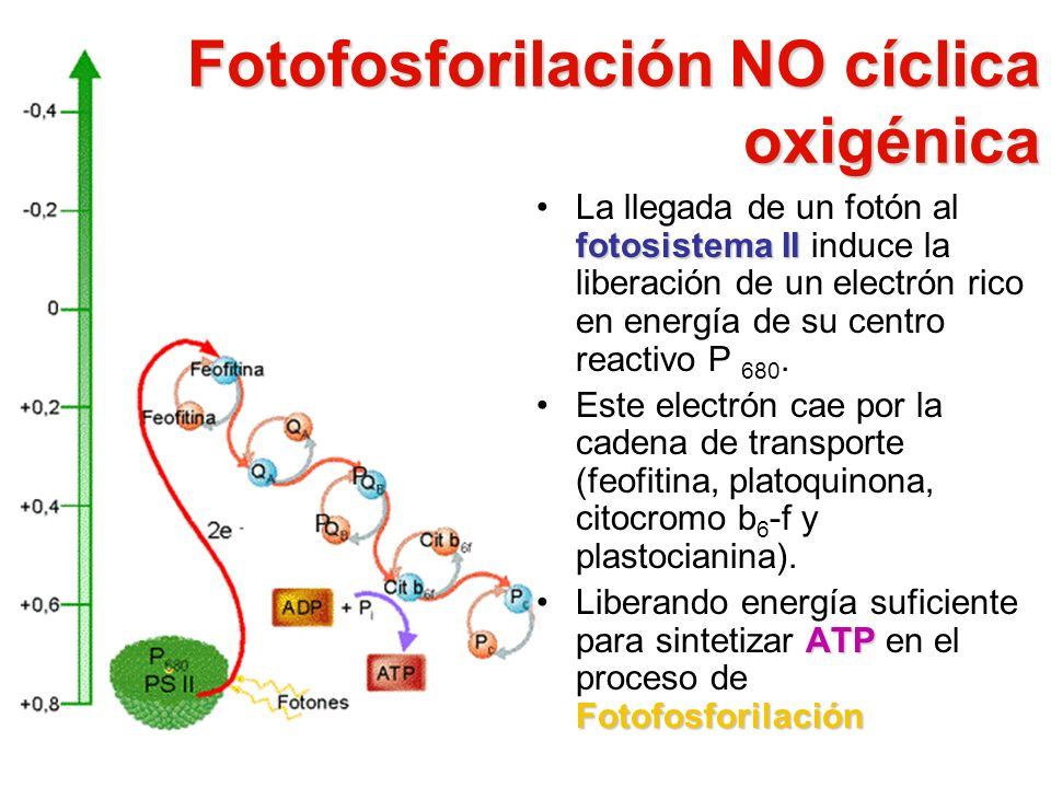 Fotofosforilación NO cíclica oxigénica fotosistema IILa llegada de un fotón al fotosistema II induce la liberación de un electrón rico en energía de s