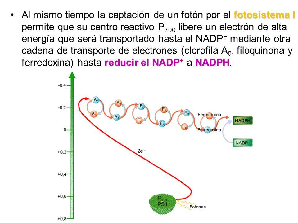 fotosistema I reducir el NADP + NADPHAl mismo tiempo la captación de un fotón por el fotosistema I permite que su centro reactivo P 700 libere un elec