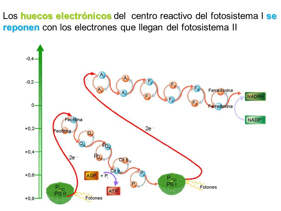 huecos electrónicos se reponen Los huecos electrónicos del centro reactivo del fotosistema I se reponen con los electrones que llegan del fotosistema