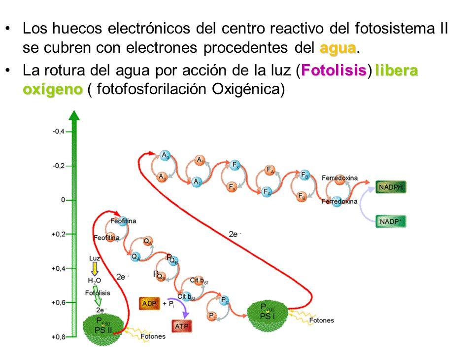 aguaLos huecos electrónicos del centro reactivo del fotosistema II se cubren con electrones procedentes del agua. Fotolisislibera oxígenoLa rotura del