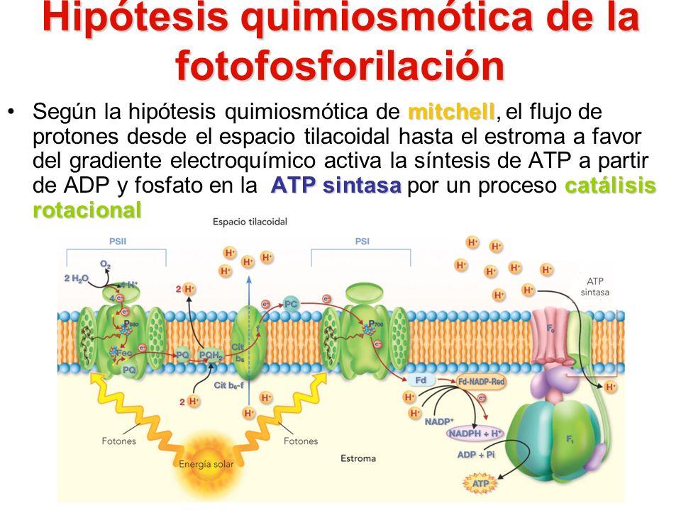Hipótesis quimiosmótica de la fotofosforilación mitchell ATP sintasacatálisis rotacionalSegún la hipótesis quimiosmótica de mitchell, el flujo de prot