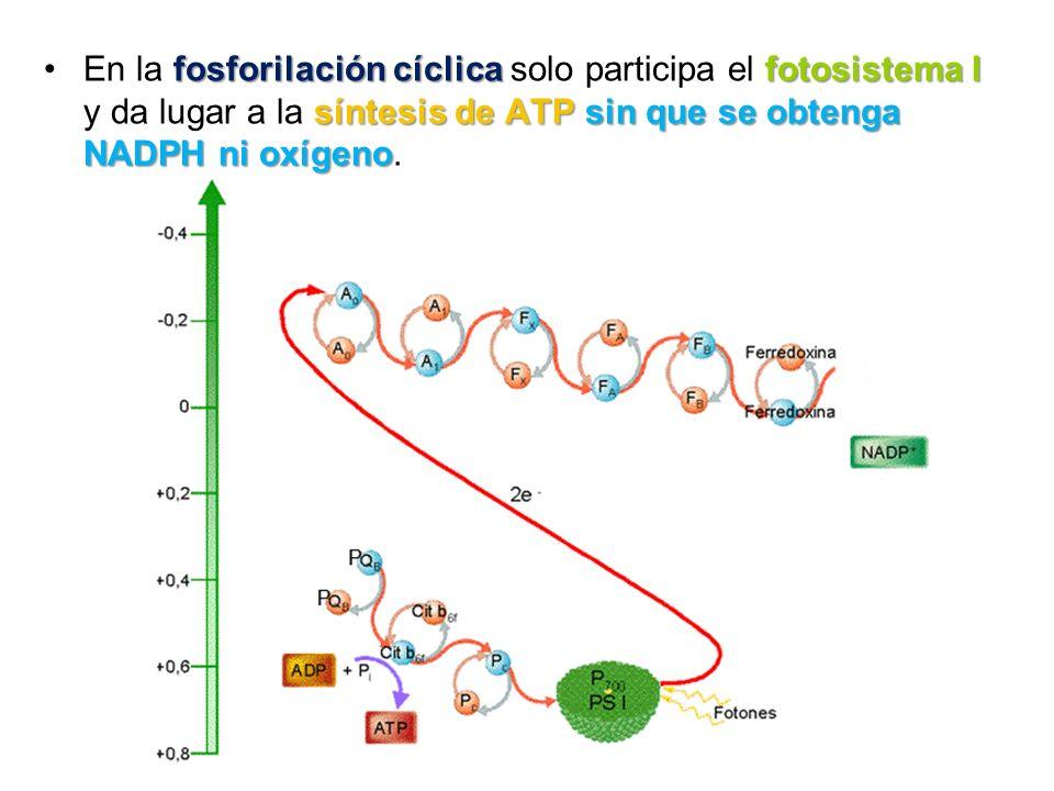 fosforilación cíclica fotosistema I síntesis de ATP sin que se obtenga NADPH ni oxígenoEn la fosforilación cíclica solo participa el fotosistema I y d