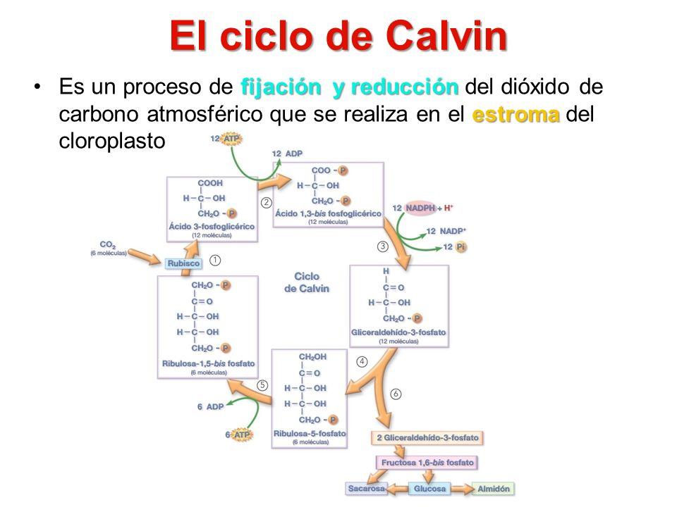 El ciclo de Calvin fijación y reducción estromaEs un proceso de fijación y reducción del dióxido de carbono atmosférico que se realiza en el estroma d