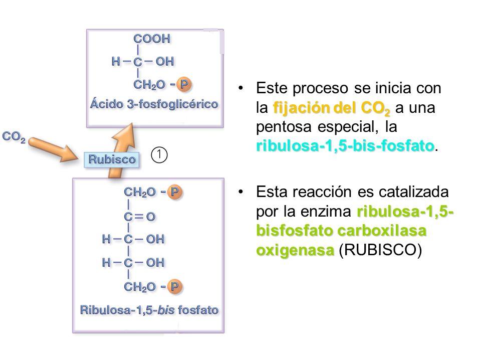 fijación del CO 2 ribulosa-1,5-bis-fosfatoEste proceso se inicia con la fijación del CO 2 a una pentosa especial, la ribulosa-1,5-bis-fosfato. ribulos