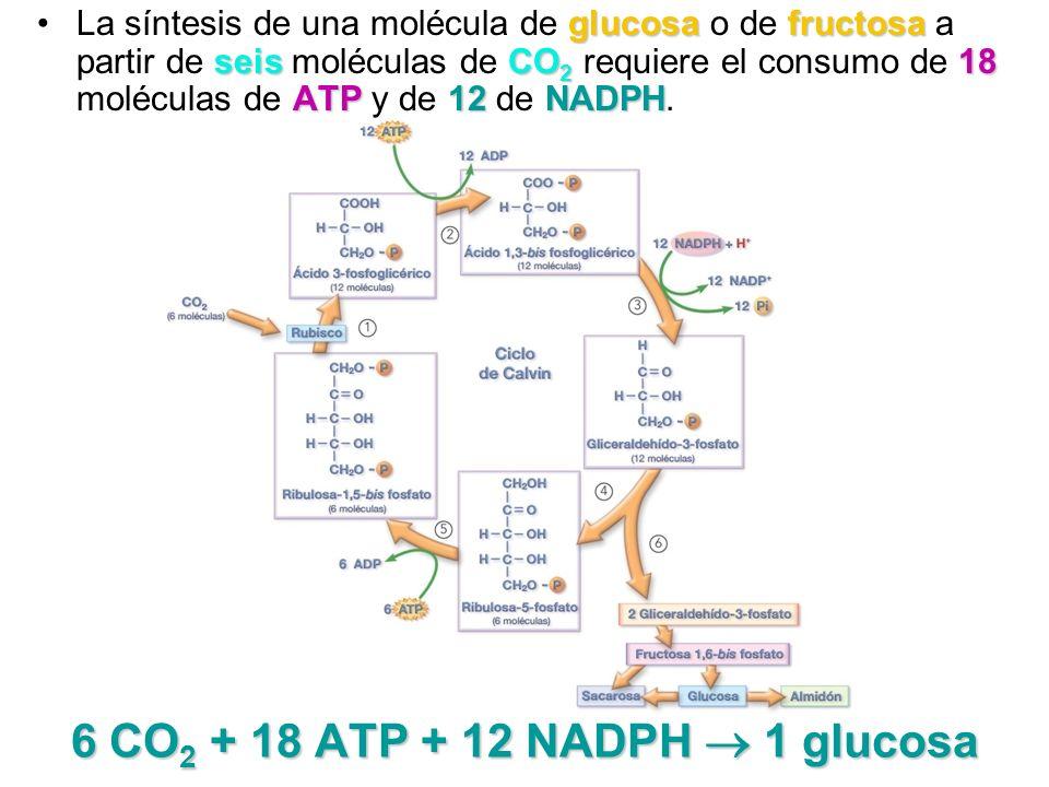 6 CO 2 + 18 ATP + 12 NADPH 1 glucosa glucosafructosa seisCO 2 18 ATP12NADPHLa síntesis de una molécula de glucosa o de fructosa a partir de seis moléc