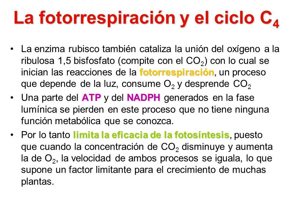 La fotorrespiración y el ciclo C 4 fotorrespiraciónLa enzima rubisco también cataliza la unión del oxígeno a la ribulosa 1,5 bisfosfato (compite con e