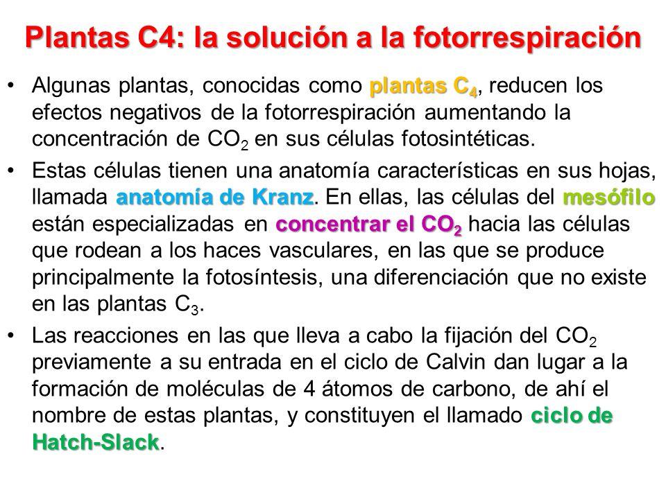 Plantas C4: la solución a la fotorrespiración plantas C 4Algunas plantas, conocidas como plantas C 4, reducen los efectos negativos de la fotorrespira