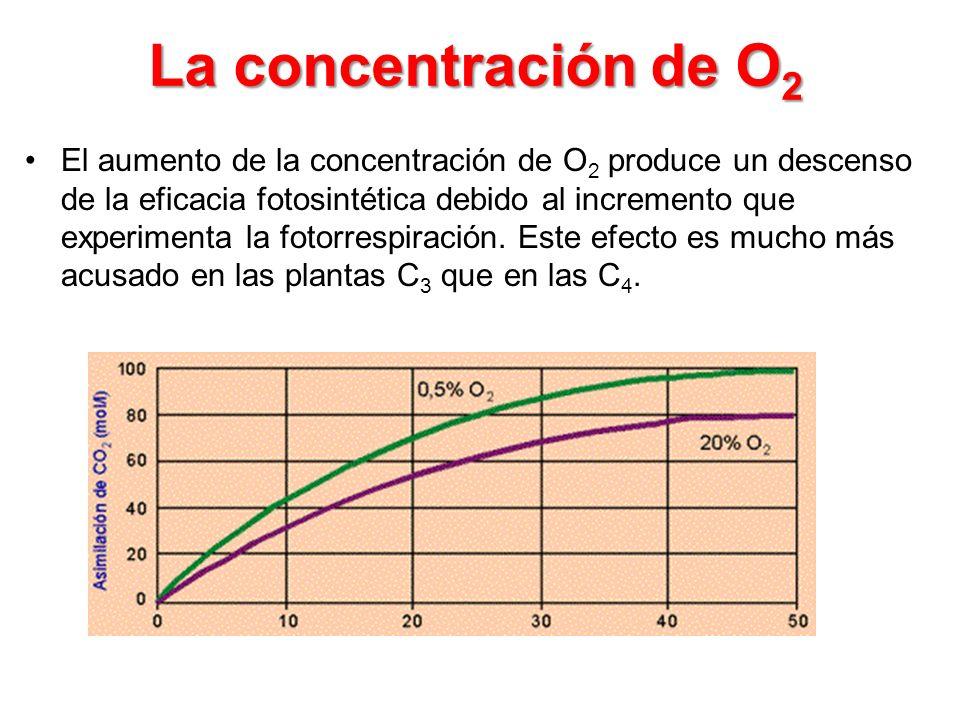 La concentración de O 2 El aumento de la concentración de O 2 produce un descenso de la eficacia fotosintética debido al incremento que experimenta la