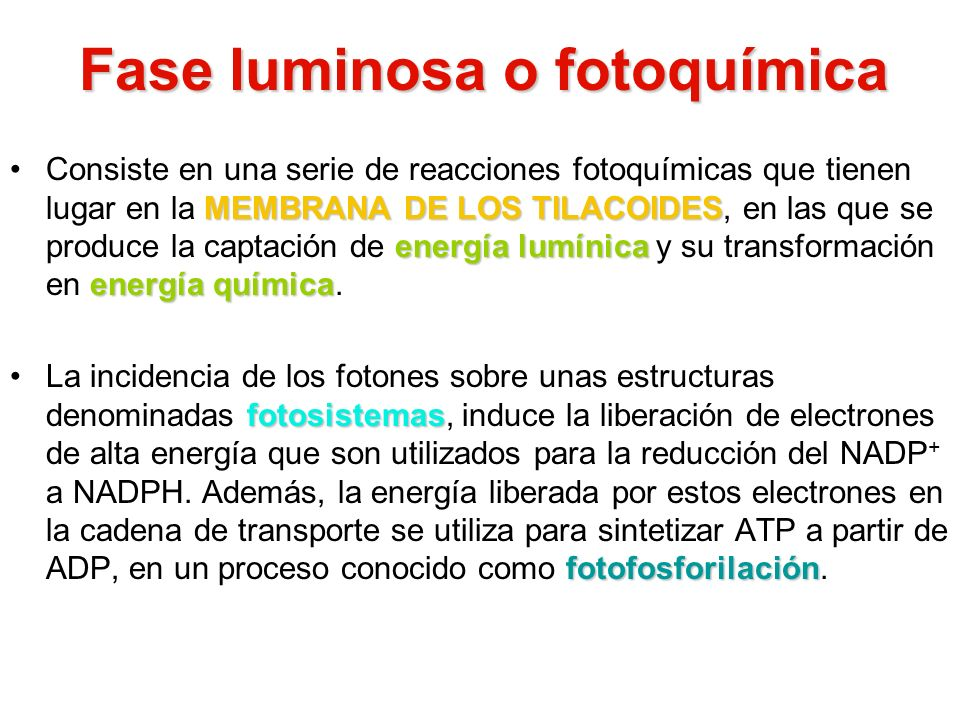 Fase luminosa o fotoquímica MEMBRANA DE LOS TILACOIDES energía lumínica energía químicaConsiste en una serie de reacciones fotoquímicas que tienen lug
