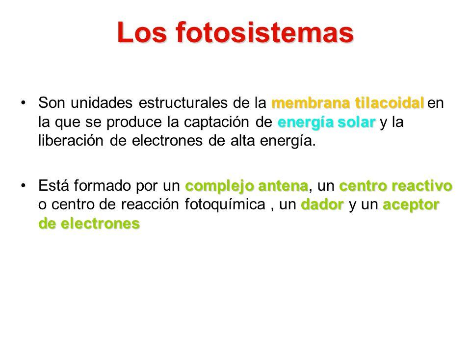 Los fotosistemas membrana tilacoidal energía solarSon unidades estructurales de la membrana tilacoidal en la que se produce la captación de energía so