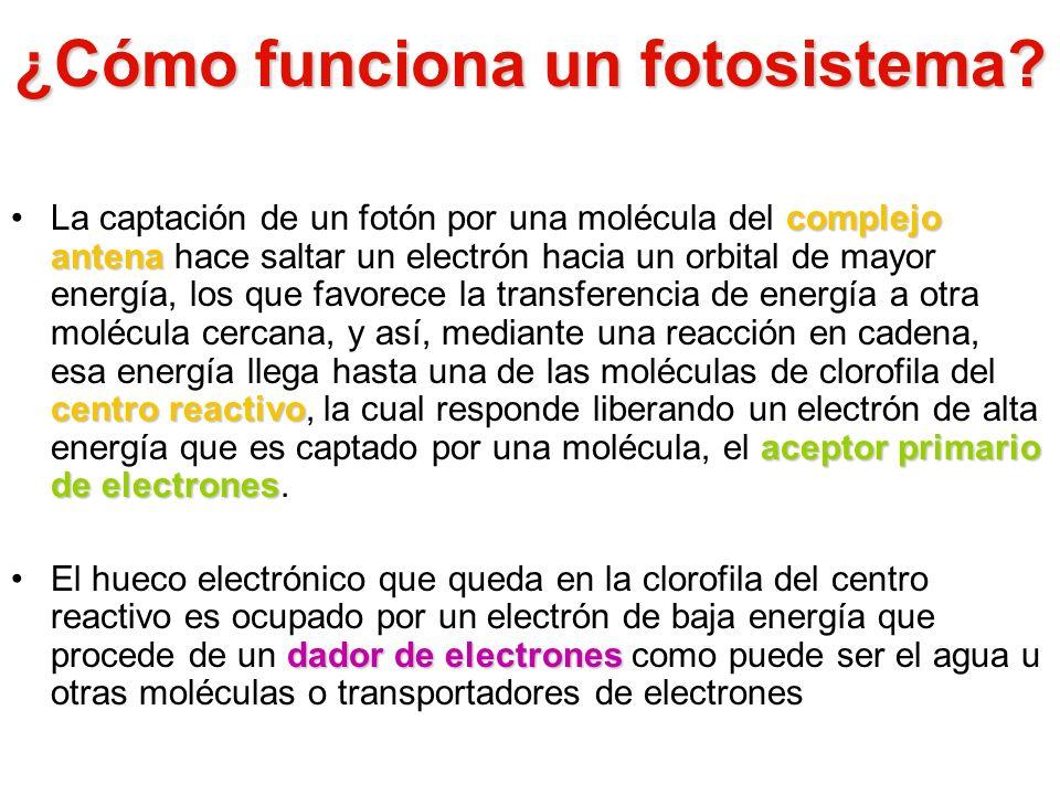 ¿Cómo funciona un fotosistema? complejo antena centro reactivo aceptor primario de electronesLa captación de un fotón por una molécula del complejo an